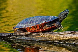 Northern red-bellied turtle , (Pseudemys rubriventris), Maryland, USA, May.  -  John Cancalosi
