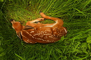 White-tailed deer (Odocoileus virginianus) fawn resting in long grass, New York, USA, May.  -  John Cancalosi
