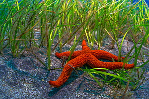 Starfish (Echinaster sepositus) in seagrass bed, Tenerife, Canary Islands.  -  Sergio Hanquet