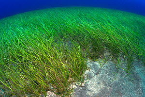 Little Neptune seagrass bed (Cymodocea nodosa) Tenerife, Canary Islands.  -  Sergio Hanquet