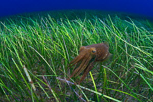 Cuttlefish (Sepia officinalis) hunting in a seagrass meadow with Little Neptune grass (Cymodocea nodosa) Tenerife, Canary Islands.  -  Sergio Hanquet