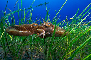 Cuttlefish (Sepia officinalis) reproducing in a seagrass meadow (Cymodocea nodosa) Tenerife, Canary Islands.  -  Sergio Hanquet