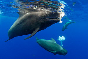 Pilot whale (Globicephala macorhynchus) dead calf carried by an adult, probably his mother. Tenerife, Canary Islands.  -  Sergio Hanquet