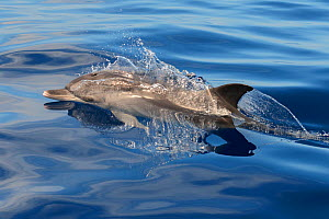 Atlantic spotted dolphin (Stenella frontalis) juvenile, without spots, at the surface, Tenerife, Canary Islands.  -  Sergio Hanquet