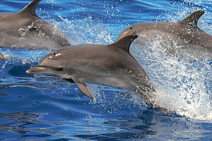 Atlantic spotted dolphin (Stenella frontalis) juvenile porpoising, with pod, Tenerife, Canary Islands.  -  Sergio Hanquet