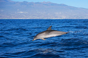 Atlantic spotted dolphin (Stenella frontalis) juvenile, without spots. Tenerife, Canary Islands.  -  Sergio Hanquet