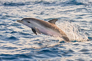 Atlantic spotted dolphin (Stenella frontalis) juvenile porpoising, Tenerife, Canary Islands.  -  Sergio Hanquet