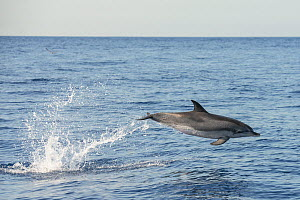 Atlantic spotted dolphin (Stenella frontalis) porpoising. Tenerife, Canary Islands.  -  Sergio Hanquet