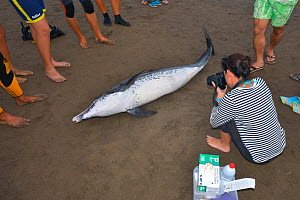 Atlantic spotted dolphin (Stenella frontalis) stranded on beach, with examiner taking pictures surrounded by onlookers. Tenerife, Canary Islands.  -  Sergio Hanquet