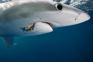 Blue shark (Prionace glauca) with a hook in the mouth. North Atlantic Ocean, Canary Islands.  -  Sergio Hanquet