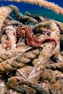 Seahorse (Hippocampus) using discarded rope as refuge, Atlantic Ocean.  -  Sergio Hanquet