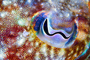 Cuttlefish (Sepia officinalis) close up of eye, Tenerife, Canary Islands.  -  Sergio Hanquet