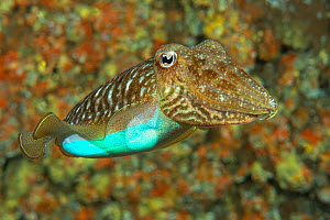 Cuttlefish (Sepia officinalis) changing its colour to a bright blue, Tenerife, Canary Islands.  -  Sergio Hanquet