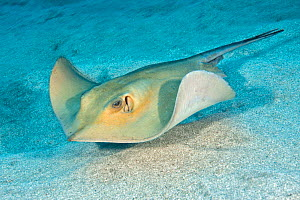 Roughtail stingray (Dasyatis centura) on sea floor, Tenerife, Canary Islands.  -  Sergio Hanquet