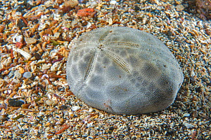 Carapace / shell of Sea urchin (Brissus unicolor) Tenerife, Canary Islands.  -  Sergio Hanquet