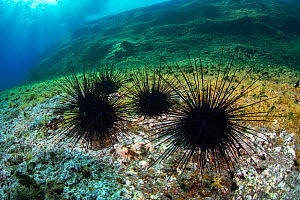 Long-spined sea urchin=s (Diadema africanum antillarum) Tenerife, Canary Islands.  -  Sergio Hanquet