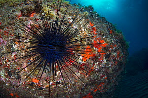 Long-spined sea urchin (Diadema africanum antillarum), wide angle view, Tenerife, Canary Islands.  -  Sergio Hanquet