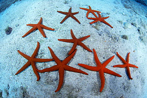 Red starfish (Echinaster sepositus) group on sea floor, Tenerife, Canary Islands.  -  Sergio Hanquet