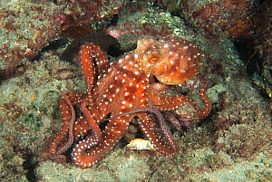 White spotted octopus (Octopus macropus) Tenerife, Canary Islands.  -  Sergio Hanquet