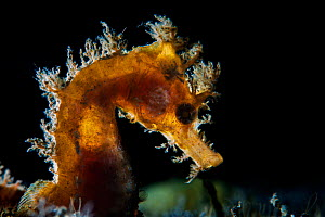 Short-snouted seahorse (Hippocampus hippocampus) Tenerife, Canary Islands.  -  Sergio Hanquet