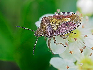 Hairy shield bug / Sloe bug (Dolycoris baccarum) on Hawthorn blossom, Hertfordshire, England, UK, April - Focus Stacked  -  Andy Sands