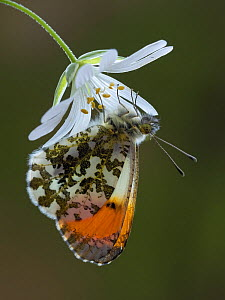 Orange tip butterfly (Anthocharis cardamines) male on Greater stitchwort flower in English woodland, Hertfordshire, England, UK, April.  -  Andy Sands