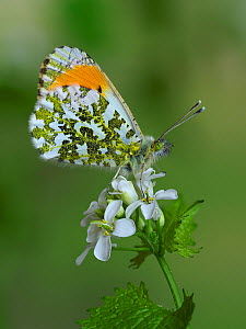 Orange tip butterfly (Anthocharis cardamines) male on Garlic Mustard flower, Hertfordshire, England, UK, April. - Focus Stacked  -  Andy Sands