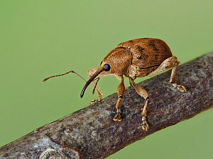Acorn weevil (Curculio venosus) portrait on an Oak twig, Hertofrdshire, England, UK, April - Focus Stacked  -  Andy Sands