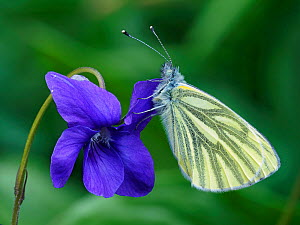 Green veined white butterfly (Pieris napi) roosting on a Dog Violet flower, Hertofrdshire, England, UK, April - Focus Stacked  -  Andy Sands