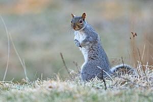 Eastern gray squirrel (Sciurus carolinensis) on frosty ground. Acadia National Park, Maine, USA. April.  -  George Sanker
