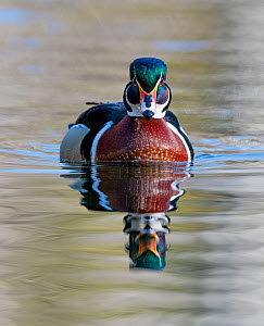 Wood duck (Aix sponsa) male in breeding plumage.   Acadia National Park, Maine, USA. April.  -  George Sanker