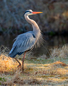 Great blue heron (Ardea herodias)  in spring breeding plumage just after sunrise in Acadia National Park, Maine, USA. April.  -  George Sanker