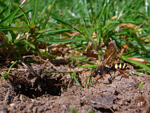 Marsham's cuckoo bee / Nomad bee (Nomada marshamella) a parasite of solitary bees, approaching the nest burrow of a Chocolate mining bee (Andrena scotica) a regular host species, Wiltshire garden, UK,...  -  Nick Upton