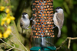 Marsh tit (Parus palustris) pair feeding on peanuts in a bird feeder near Forsythia flowers in the background, Wiltshire, UK, April.  -  Nick Upton