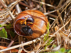 Two-coloured mason bee (Osmia bicolor) emerging from her nest site in a Brown-lipped snail (Cepaeae nemoralis) shell on chalk grassland, near Bath, Somerset, UK, April. The bee provisions the snail sh...  -  Nick Upton