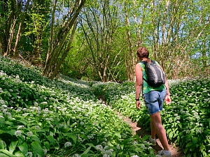 Woman walking along a footpath through woodland carpeted with Wild garlic / Ramsons (Allium ursinum) during the Coronavirus lockdown period, Wiltshire, UK, April 2020. Model released.  -  Nick Upton