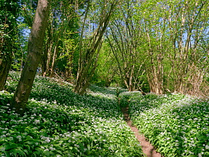 Footpath through Wild garlic / Ramsons (Allium ursinum) carpeting woodland floor in spring, Wiltshire, UK, April.  -  Nick Upton