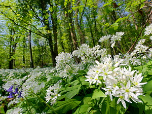 Wild garlic / Ramsons (Allium ursinum) carpeting woodland floor in spring, Wiltshire, UK, April.  -  Nick Upton