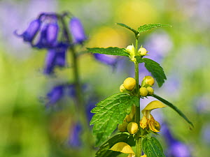 Yellow archangel (Lamium galeobdolon) flowering among Bluebells (Hyacinthoides nonscripta) in woodland understorey, near Box, Wiltshire, UK, April.  -  Nick Upton