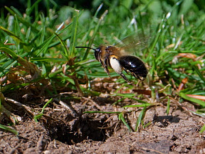 Chocolate mining bee (Andrena scotica) female flying down to her nest burrow with loaded pollen baskets to provision her brood cells, Wiltshire garden, UK, April.  -  Nick Upton