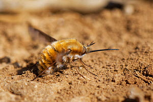 Common bee fly (Bombylius major) rubbing the tip of her abdomen in loose, sandy soil to fill her sand chamber where eggs are coated in sand, perhaps to improve aim and survival when eggs are dropped n...  -  Nick Upton
