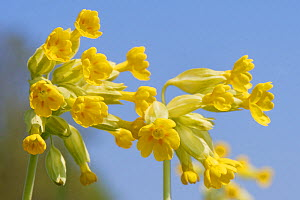Cowslips (Primula veris) flowering on a chalk grassland common, near Box, Wiltshire, UK, April.  -  Nick Upton
