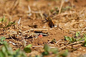"""Dotted bee fly (Bombylius discolour) female hovering while flicking its tail down to """"bomb"""" eggs onto the ground near the nest entrance of a Yellow-legged mining bee (Andrena flavipes), its main host,...  -  Nick Upton"""