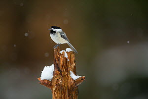 Black-capped Chickadee (Poecile atricapilla) perched on tree stump, calling, Massachusetts, USA. April.  -  Tim  Laman