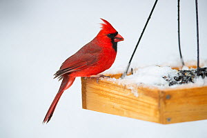 Northern Cardinal (Cardinalis cardinalis) at birdfeeder in snow Massachusetts, USA. April.  -  Tim  Laman