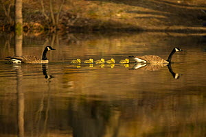 Canada goose (Branta canadensis) pair with goslings, a few days old. Massachusetts, USA. April.  -  Tim  Laman