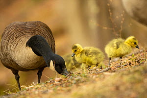Canada goose (Branta canadensis) with goslings, a few days old. Massachusetts, USA. April.  -  Tim  Laman