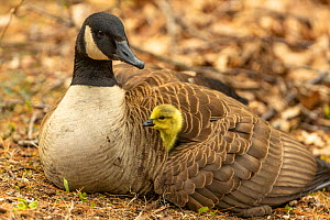 Canada goose (Branta canadensis) with gosling, a few days old. Massachusetts, USA. April.  -  Tim  Laman