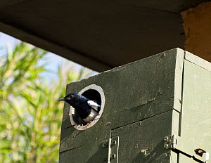 Oriental magpie robin  (Copsychus saularis) male at nest box Whitefield, Bangalore, India, March.  -  Ashish & Shanthi Chandola