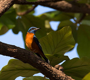 Blue-capped rock thrush ( Monticola cinclorhynchus), Whitefield, Bangalore, March.  -  Ashish & Shanthi Chandola